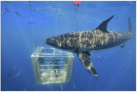 Shark swimming around a cage constructed of LP Legacy sub-flooring